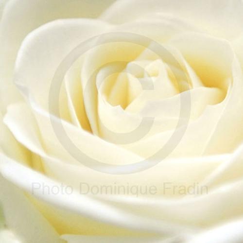 Rose, 2010.